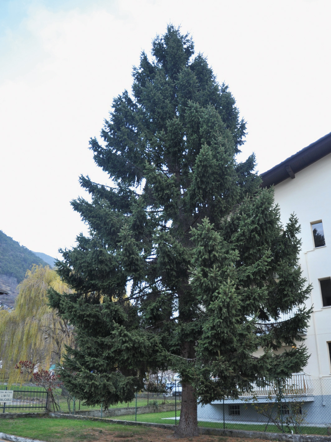 Donazione di alberi di natale all'aquila
