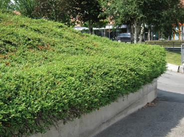 Scarpata piante per ancorare il terreno forum giardinaggio - Piante striscianti per scarpate ...